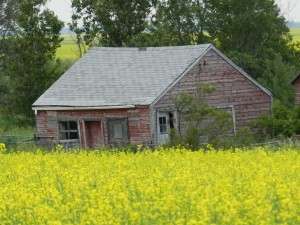 Canola Fields near Strathclair Manitoba July 2012 (4)
